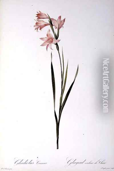 Gladiolus Carneus, from Les liliacees, 1804 Oil Painting - Pierre-Joseph Redoute