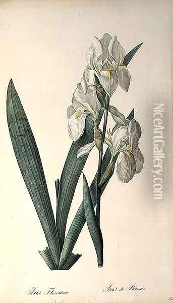Iris Florentina, from Les Liliacees Oil Painting - Pierre-Joseph Redoute