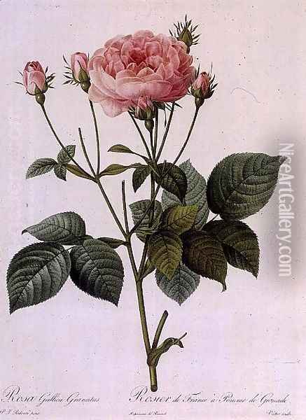 Rosa Gallica Granatus, from Les Roses, vol II, 1821 Oil Painting - Pierre-Joseph Redoute