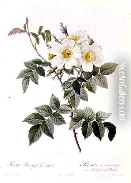 Rosa Brevistyla Leucochroa Oil Painting - Pierre-Joseph Redoute
