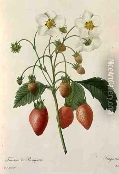 Fragaria Strawberry, engraved by Chapuis, from Choix des Plus Belles Fleurs, 1827-33 Oil Painting - Pierre-Joseph Redoute