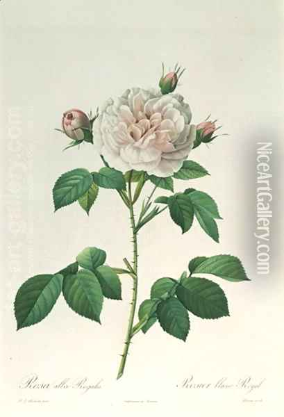 Rosa Alba Regalis, engraved by Bessin Oil Painting - Pierre-Joseph Redoute