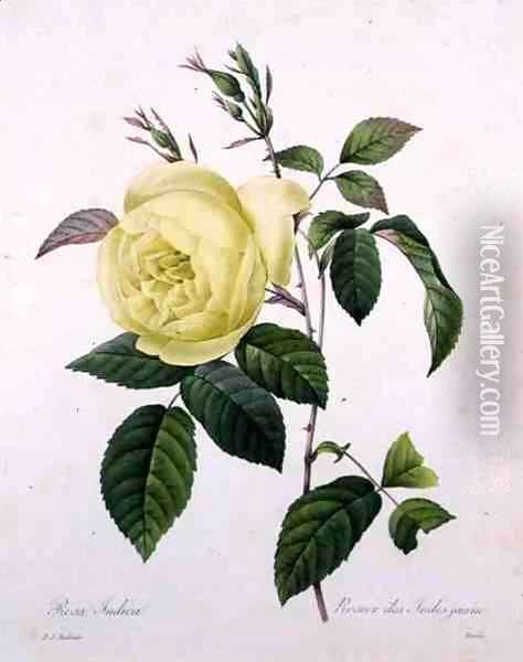Rosa indica, engraved by Bessin, from Choix des Plus Belles Fleurs, 1827 Oil Painting - Pierre-Joseph Redoute