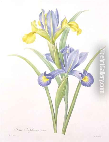 Iris xiphium, variety, engraved by Langlois, from Choix des Plus Belles Fleurs, 1827 Oil Painting - Pierre-Joseph Redoute