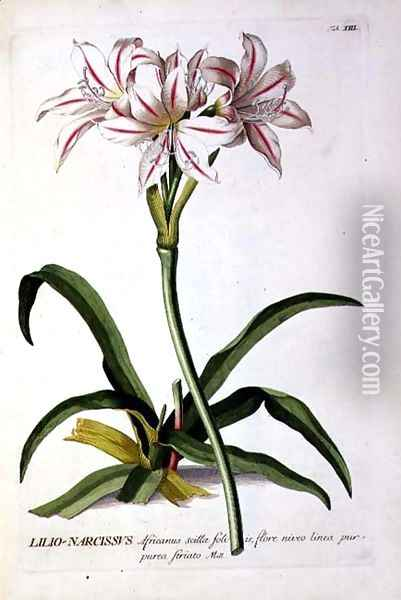 Lilio-Narcissus, from Trew Plantae Selectae Oil Painting - Pierre-Joseph Redoute
