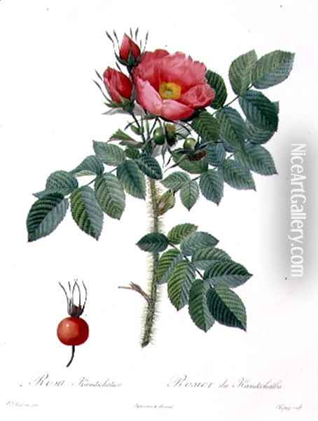 Rosa Kamtschatica, engraved by Chapuy, published by Remond Oil Painting - Pierre-Joseph Redoute