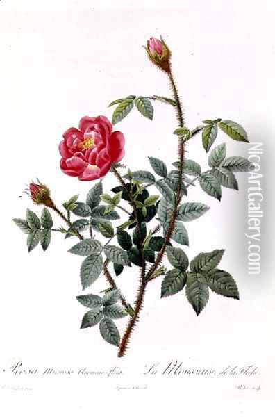 Rosa Muscosa Anemone-Flora Oil Painting - Pierre-Joseph Redoute