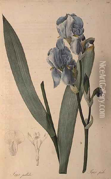 Iris Pallida, from Les Liliacees Oil Painting - Pierre-Joseph Redoute