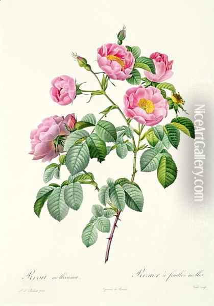 Rosa Mollissima, from Les Roses by Claude Antoine Thory 1757-1827 engraved by Victor, 1817 Oil Painting - Pierre-Joseph Redoute