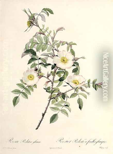 Rosa Redutea glauca, engraved by Chapuy, published by Remond Oil Painting - Pierre-Joseph Redoute