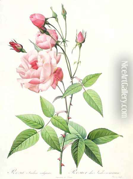Rosa Indica Vulgaris, engraved by Bessin, from Les Roses, Vol II, 1821 Oil Painting - Pierre-Joseph Redoute