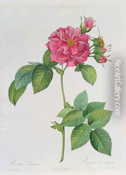 Rosa Turbinata, from Les Roses, Vol 1, 1817 Oil Painting - Pierre-Joseph Redoute