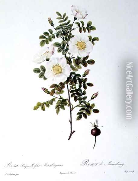 Rosa Pimpinellifolia Mariaeburgensis, engraved by Chapuy, from Les Roses, by Remond, pub. 1818 Oil Painting - Pierre-Joseph Redoute