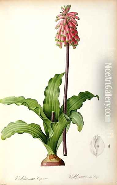 Veltheimia Capensis, from Les Liliacees Oil Painting - Pierre-Joseph Redoute