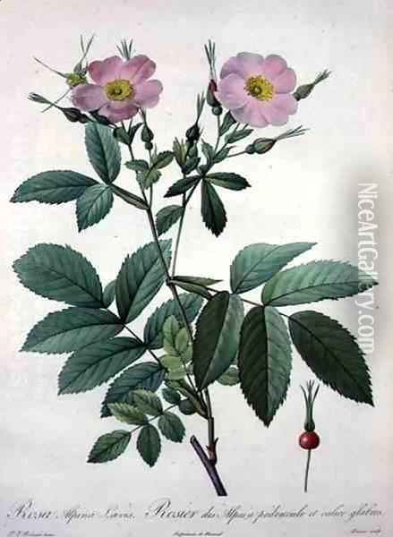 Rosa alpina laevis, engraved by Bessin, from Les Roses, 1817-24 Oil Painting - Pierre-Joseph Redoute