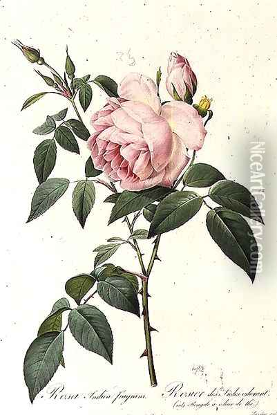 Rosa Indica Fragrans, engraved by Langlois, published by Remond 2 Oil Painting - Pierre-Joseph Redoute