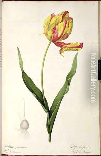 Tulipa gesneriana dracontia, from Les Liliacees, 1816 Oil Painting - Pierre-Joseph Redoute