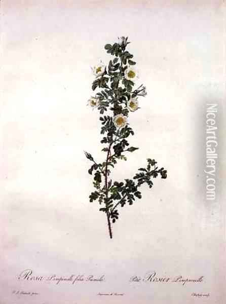 Rosa pimpinelli folia pumila dwarf Scotch rose, engraved by Chapuy, from Les Roses, 1817-24 Oil Painting - Pierre-Joseph Redoute