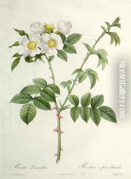 Rosa Leucantha, engraved by Chapuy, published by Remond Oil Painting - Pierre-Joseph Redoute