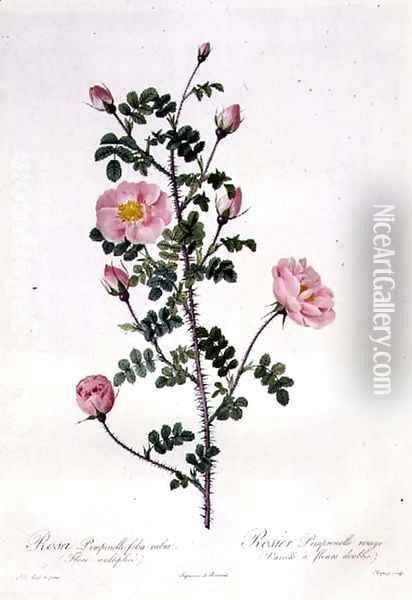 Rosa Pimpinellifolia Rubra Flore Multiplici, engraved by Chapuy, published by Remond Oil Painting - Pierre-Joseph Redoute