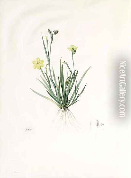 Study of Sisyrinchium convolutum, with subsidiary Studies of the Flower, Pistil and Seed Oil Painting - Pierre-Joseph Redoute