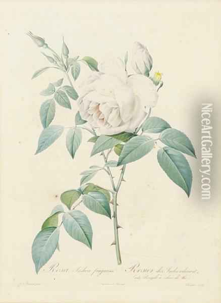 Rosa Pomponia; Rosa Indica, From Lesroses Oil Painting - Pierre-Joseph Redoute
