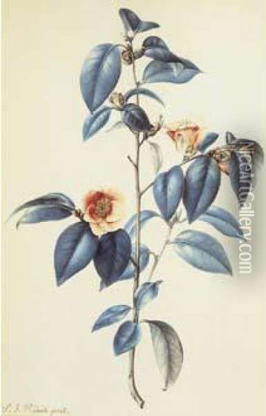 Redoute - Camellia Japonica Oil Painting - Pierre-Joseph Redoute