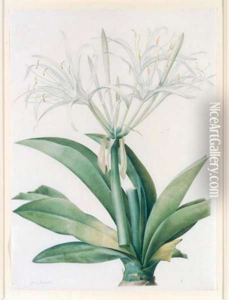 A Caribbean New World Pancratius Lily ( Oil Painting - Pierre-Joseph Redoute