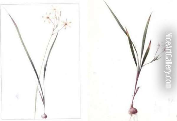 Gladiolus Inclinatus And Ixia Longifora: A Pair Of Drawings Oil Painting - Pierre-Joseph Redoute