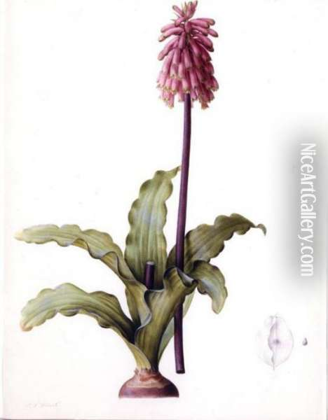 Veltheimia Capensis Oil Painting - Pierre-Joseph Redoute
