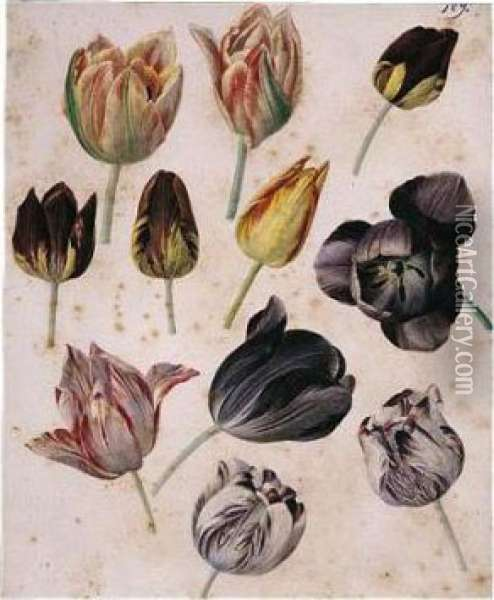 Study Of Eleven Tulips Oil Painting - Pierre-Joseph Redoute