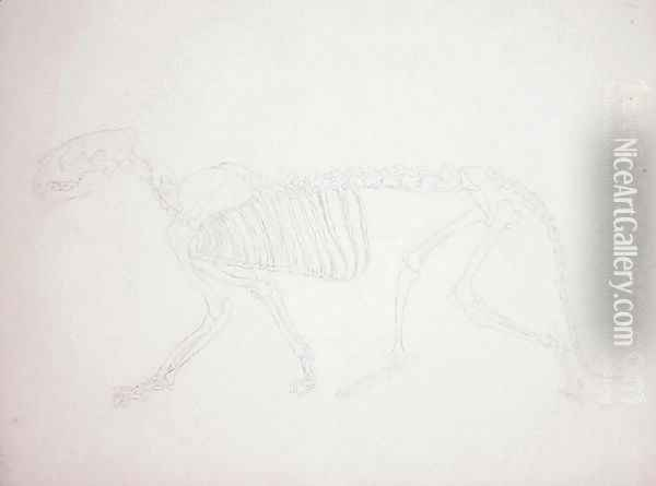 Study of a Tiger, Lateral View, from A Comparative Anatomical Exposition of the Structure of the Human Body with that of a Tiger and a Common Fowl, 1795-1806 22 Oil Painting - George Stubbs