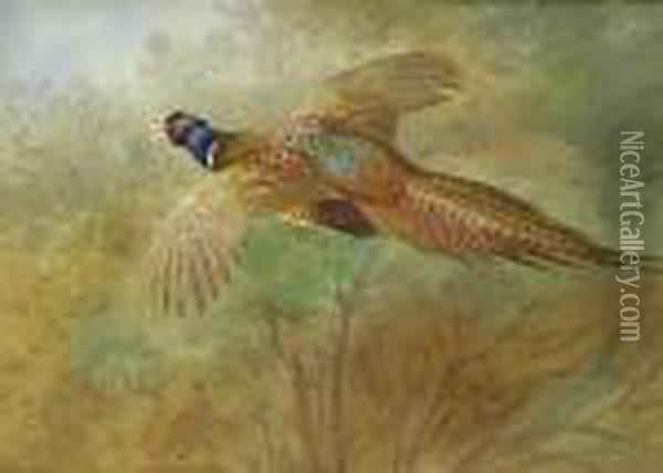 Flying Pheasant Oil Painting - Archibald Thorburn