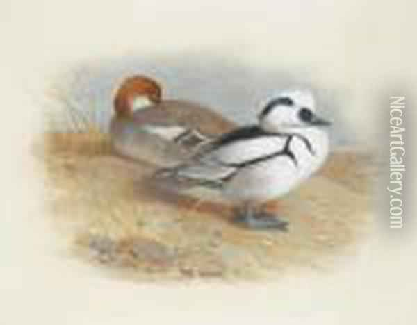 A Pair Of Smew Ducks Oil Painting - Archibald Thorburn