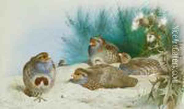 English Partridge With Gorse And Thistles Oil Painting - Archibald Thorburn