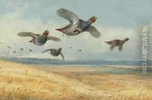 A Covey Of Partridge In Flight Over A Field Of Corn Oil Painting - Archibald Thorburn