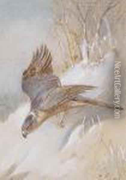 Study Of A Male Sparrowhawk Oil Painting - Archibald Thorburn