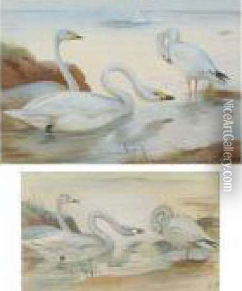 Bewick's Swan And Snow-goose Oil Painting - Archibald Thorburn