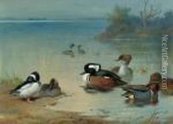 Buffel-headed Duck, American Green-winged Teal And Hoodedmerganser Oil Painting - Archibald Thorburn
