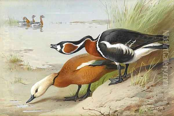 Ruddy Shelduck and Red-Breasted Goose Oil Painting - Archibald Thorburn