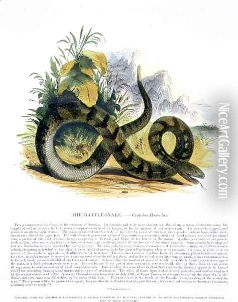 The Rattle-Snake (Crotalus horridus) educational illustration pub. by the Society for Promoting Christian Knowledge, 1843 Oil Painting - Josiah Wood Whymper