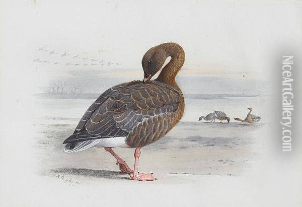 A Pink-footed Goose Oil Painting - Archibald Thorburn