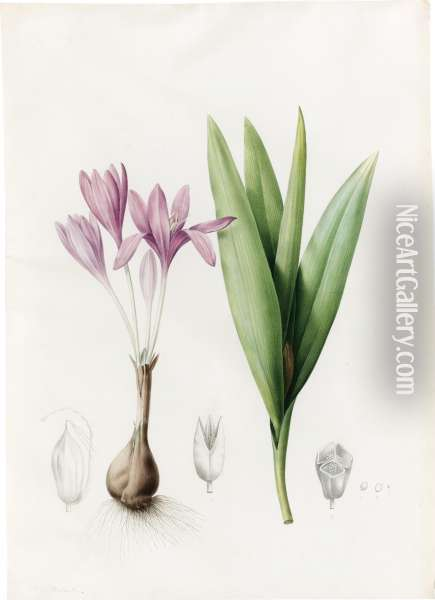 Colchicum Autumnale (meadow Saffron Or Autumn Crocus) Oil Painting - Pierre-Joseph Redoute